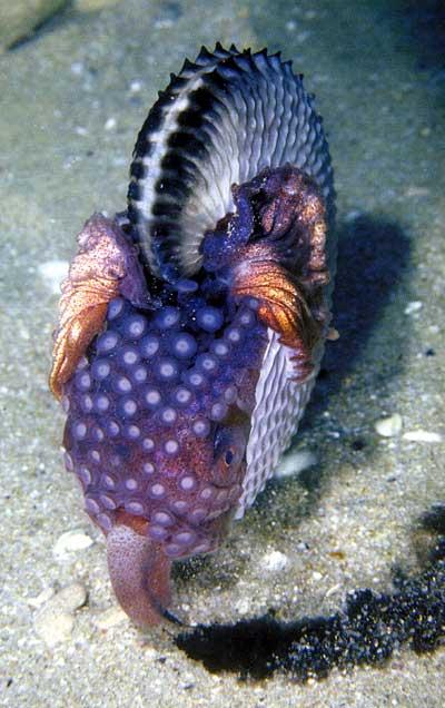 Argonauta nodosa or paper nautilus
